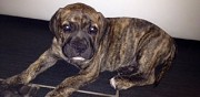 Chiot dogo canario � vendre assevent