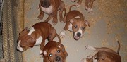 Chiots american staffordshire terrier � vendre cosnac