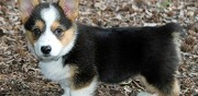 Chiots type welsh corgi  donner perpignan