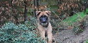 Vends berger belge malinois armenti�res