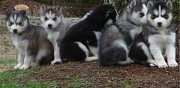 Chiots husky sibérien disponible lagarrigue