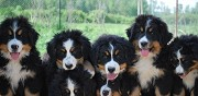 Vends chiots bouvier bernois lof contigny