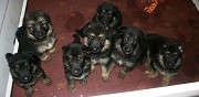 Vends chiots type berger allemand disponible eysines