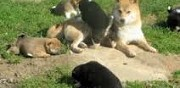 Chiots type shiba inu pure race non lof � adopter caupenne d'armagnac