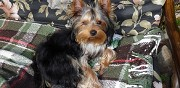 Donne chiots type yorkshire terrier bastia