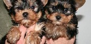 Yorkshire terrier lof � adopter annecy