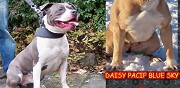 Chiots amstaff lof pedigree truand black tide waziers