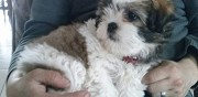 Vends chiot type shih tzu plouhinec
