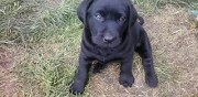 Chiot type labrador  vendre dame marie