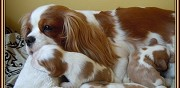 Vends chiots type cavalier king charles paris