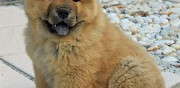 Chiot chow chow � vendre mercey