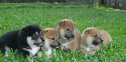 Chiots de type shiba inu a adopter sauvillers mongival