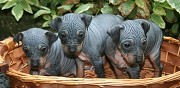 3 superbes chiots american hairless terrier aht brainville