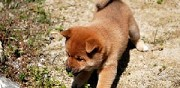Chiots shiba inu disponibles pamiers