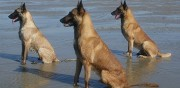 Chiots malinois lof � vendre pithiviers