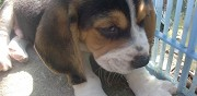 A r�server chiot type beagle saint vincent de paul