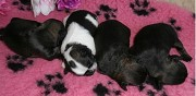 Vends chiots �pagneul tib�tain lof rouen
