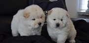 Chiots chow chow lof cahors