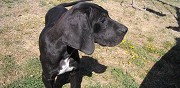 Vends chiots type dogue allemand mauz� thouarsais