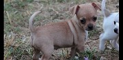 Chiots type chihuahua à donner mayenne