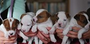 Donne chiots jack russell marseille
