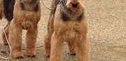 Chiots type airedale terrier � vendre beine