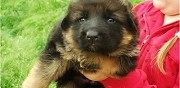 Vends chiot berger allemand lof aube