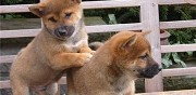 2 chiots type shiba inu � donner nantes