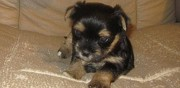Don de superbes chiots de type yorkshire saint claude