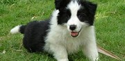 Donne chiots de type border collie la souterraine