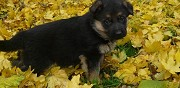 Donne chiots type berger allemand saint jean lagineste