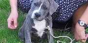 Vends chiots amstaff guérande