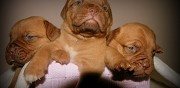 Chiots type dogue de bordeaux � r�server somain