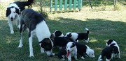 Chiots typ border collie � vendre  saint pantal�on de larche