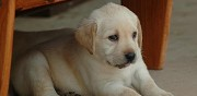 Donne chiots type labrador loches