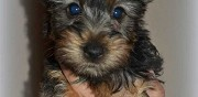 Vends chiots silky terrier lof (grand yorkshire) saint aignan de grand lieu