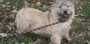 Cairn terrier m�le � adopter saint gilles