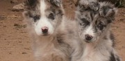 Chiots border collie disponibles bo�n