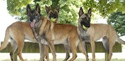Chiots malinois lof � adopter pithiviers