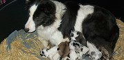 Chiots type border collie � r�server terraube