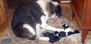 Donne chiots crois� border collie hauteluce