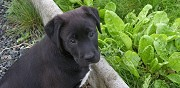Petite chienne labrador � adopter les herbiers