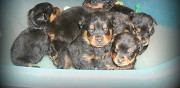 Chiots type rottweiler non lof � r�server reims