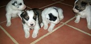 A r�server chiots type border collie non lof terraube