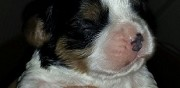 Vends chiots type cavalier king charles lens