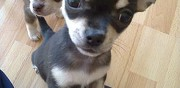 A placer chiots de type chihuahua pour adoption brian�on