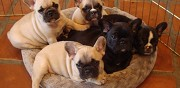 Adorables chiots bouledogue fran�ais disponibles paris