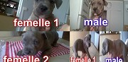 A r�server chiots american staffordshire terrier draveil