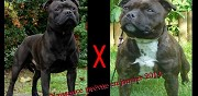 Chiots staffy lof � vendre clamart