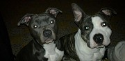 Vends chiots american staffordshire terrier thumeries